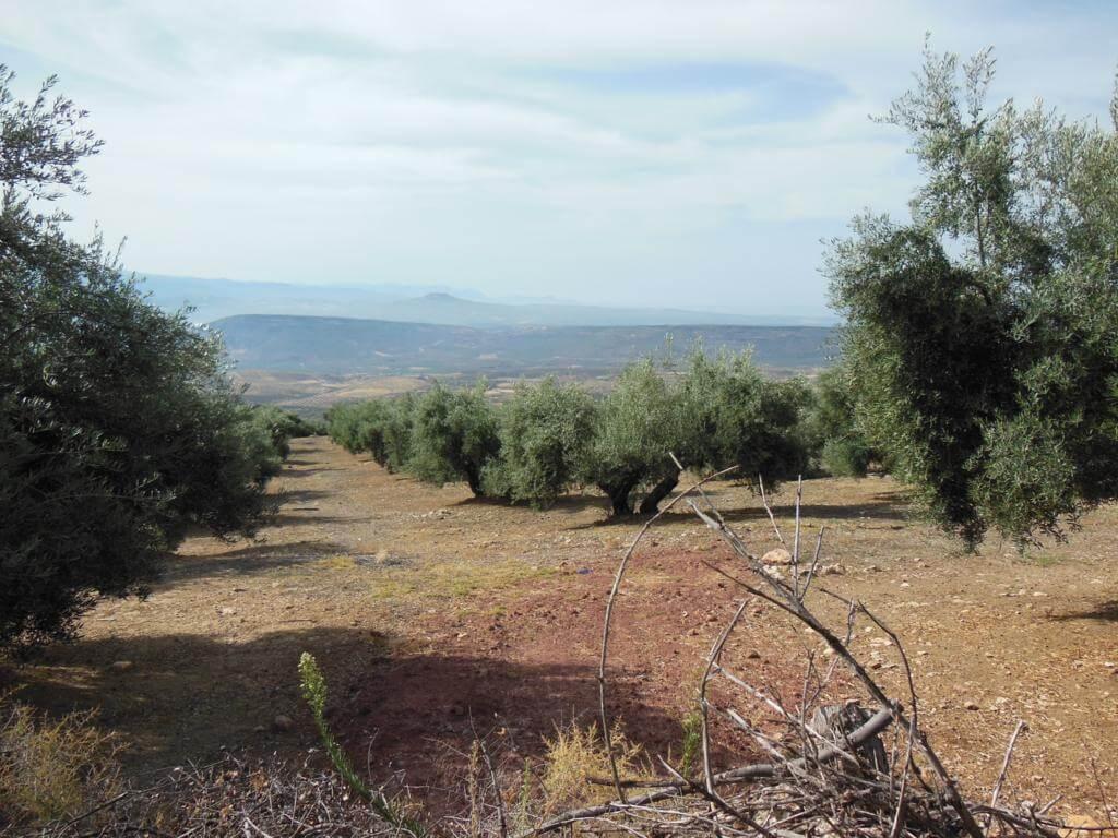 Mares de olivos acompañan al visitante