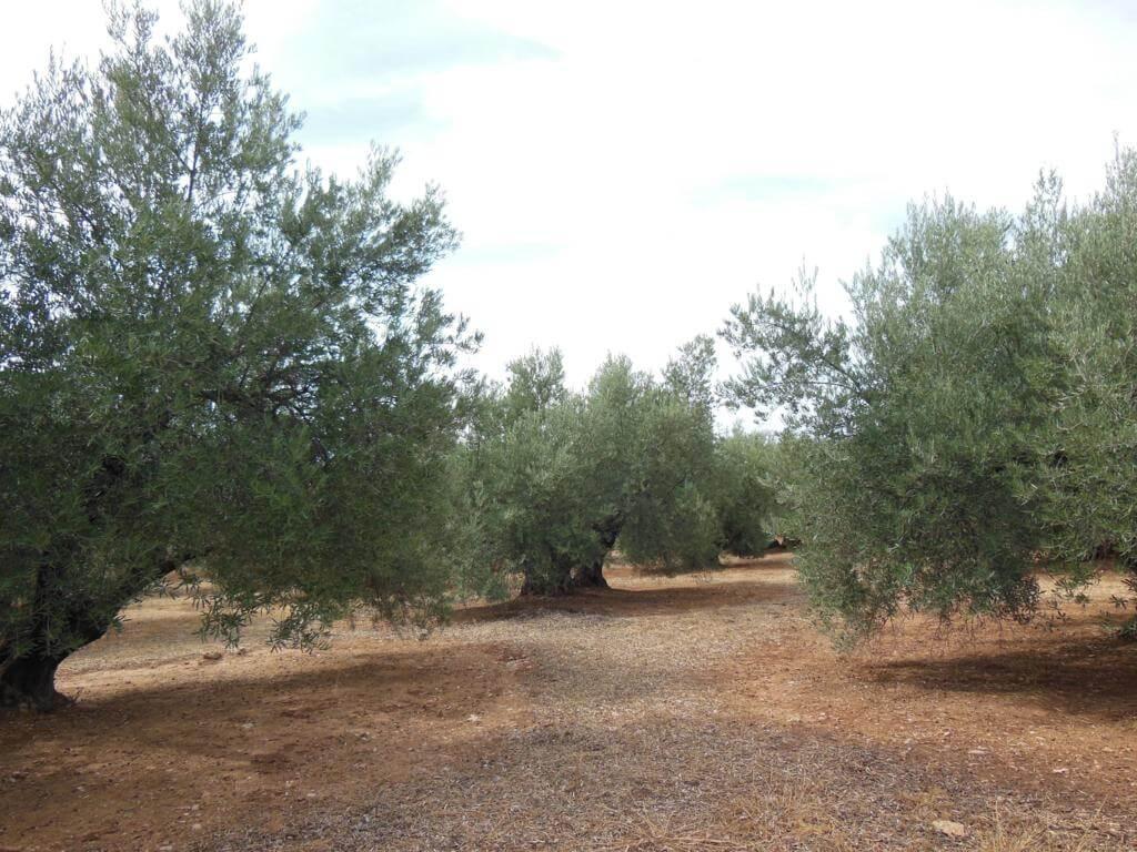 La recolección del olivo es un trabajo muy duro