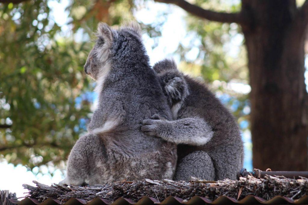 Cuando hagas la maleta para viajar a  Australia, llévate tu cámara y fotografía a los koalas.
