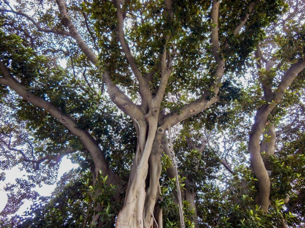 Ficus Centenarios de Alicante.