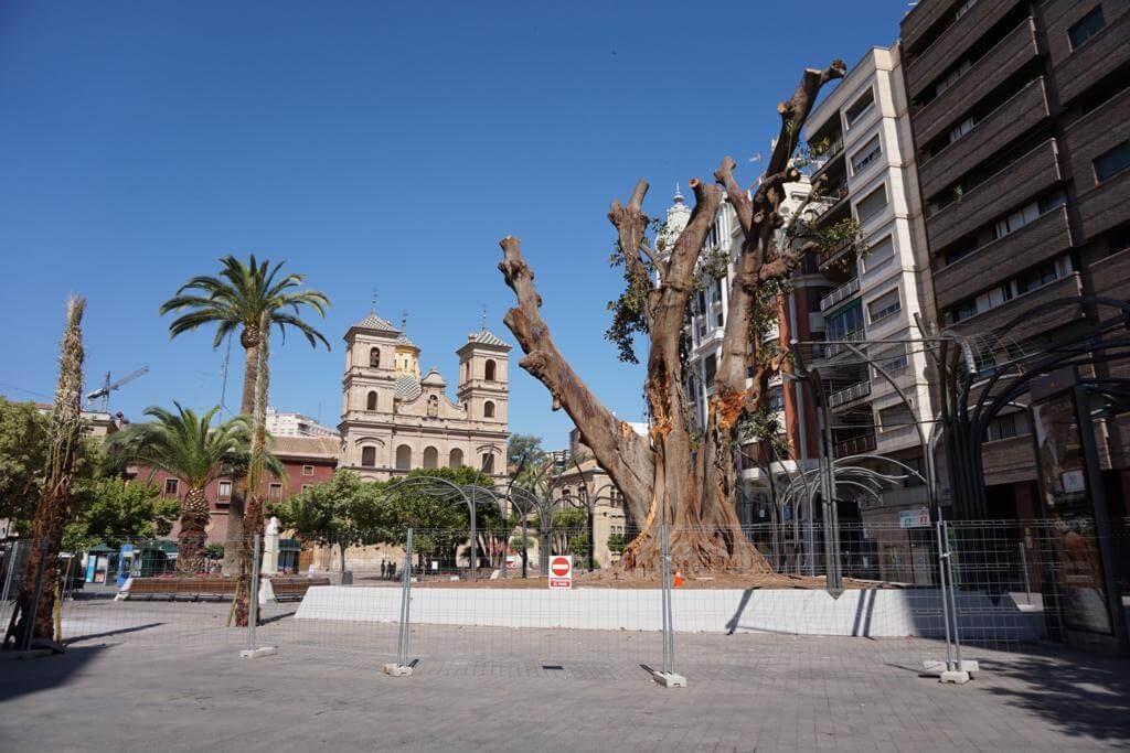 Ficus de la Plaza de Santo Domingo